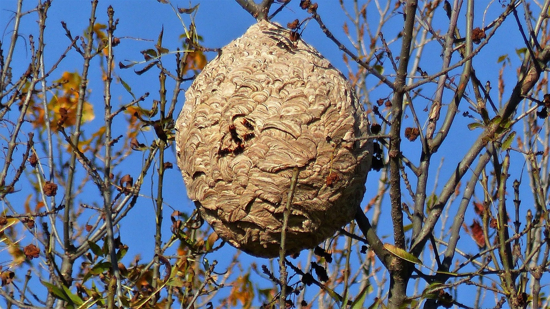 destruction eradication nid de frelon le blanc mesnil