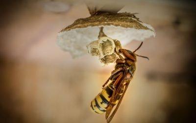 Première destruction d'un nid de frelons géants (vespa mandarinia) aux États-Unis
