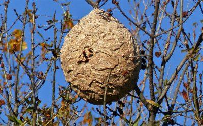 Que deviennent les nids de frelons asiatiques en saison hivernale